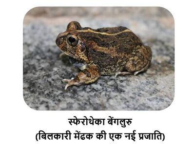 species of burrowing frog named after bengaluru